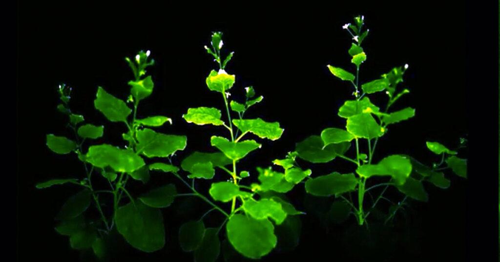 Plantas bioluminiscentes para iluminar las calles