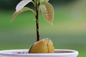Como plantar uma pedra de abacate em passos simples