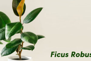 Ficus robusta: Tips to maintain it and extend its life