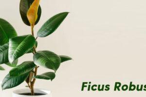 Ficus robusta : Conseils pour l'entretenir et prolonger sa vie