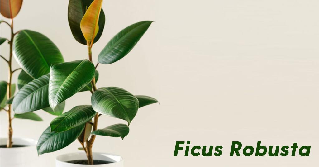 Ficus Robusta