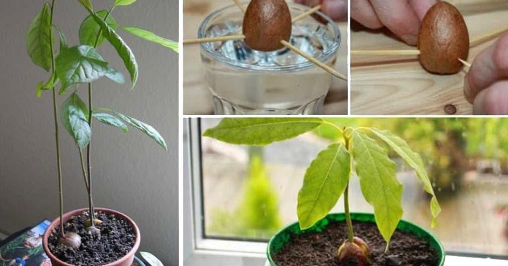 plantar hueso de aguacate